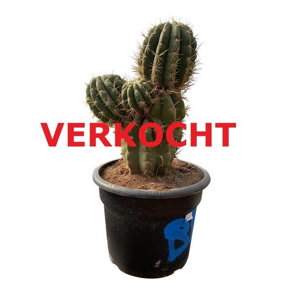 Echinopsis pasacana (EPA-7)