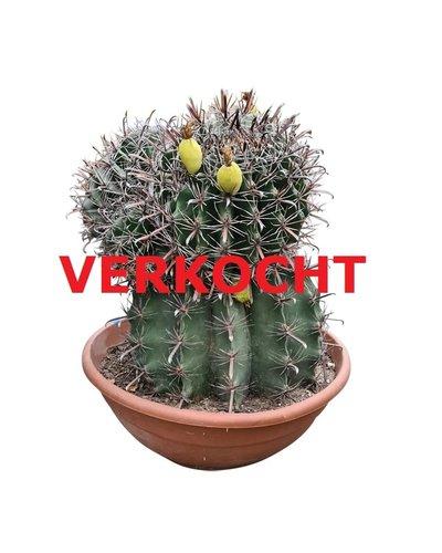 """Ferocactus horridus """"Multihead"""" (schaal 60 cm)"""