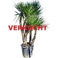 Yucca aloifolia XXL (YAL-1)