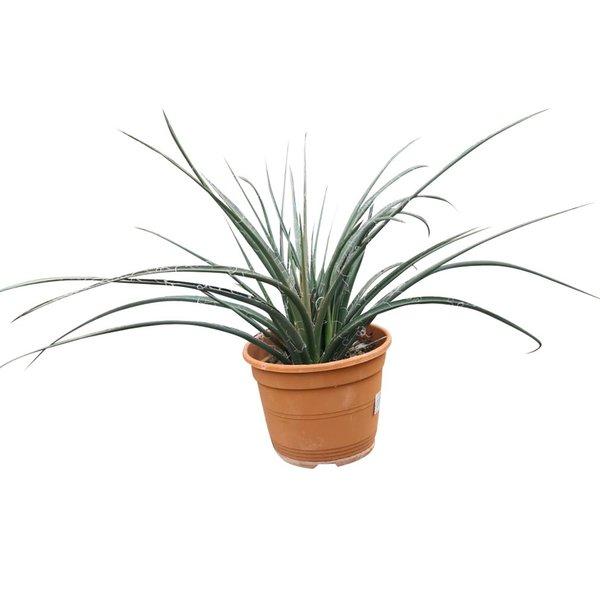 Hesperaloe (pot C-22)