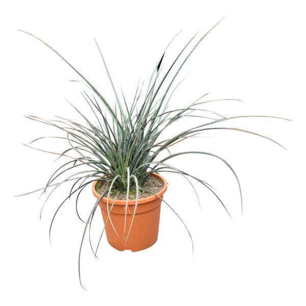 Hesperaloe (pot C-25)