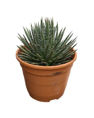 Agave polianthiflora (pot C-22)