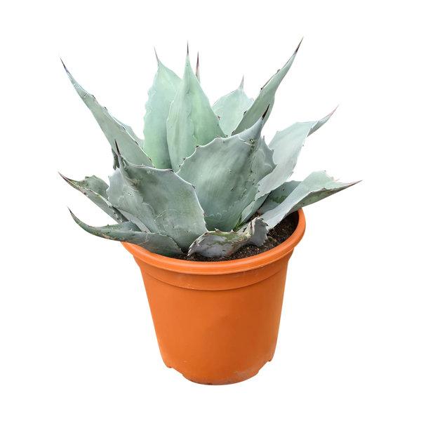 Agave ovatifolia (pot C-30)