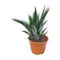 Agave fourcroydes (pot C-22)