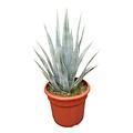 Agave palmeri (pot C-35)