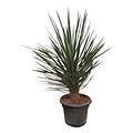 Yucca decipiens 110 cm (DEC-2)