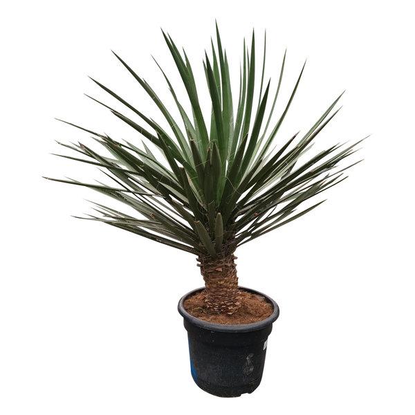 Yucca decipiens 120 cm (DEC-1)