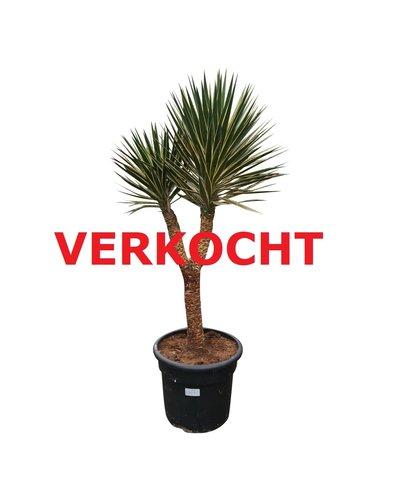 "Yucca aloifolia ""Marginata"" 150-175 cm"