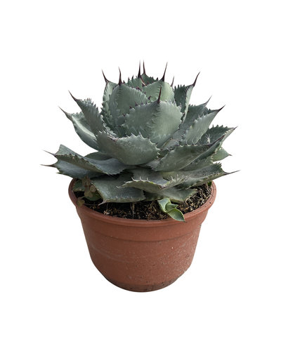 Agave potatorum (pot 15 cm)