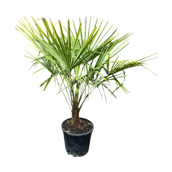 Trachycarpus fortunei (mini)