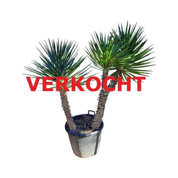 Yucca aloifolia XL (YAL-4)