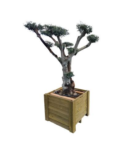 "Olijfboom ""Pon Pon"" in houten bak (NO:1)"