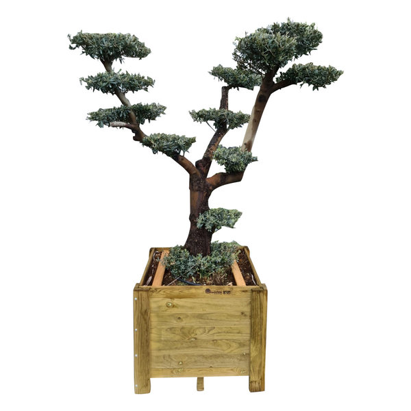 "Olijfboom ""Pon Pon"" in houten bak (NO:2)"