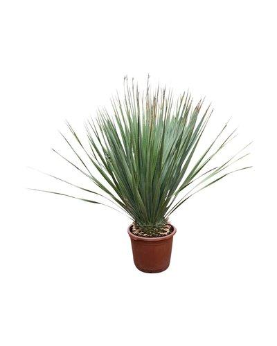 Dasylirion wheeleri (40 Liter pot)