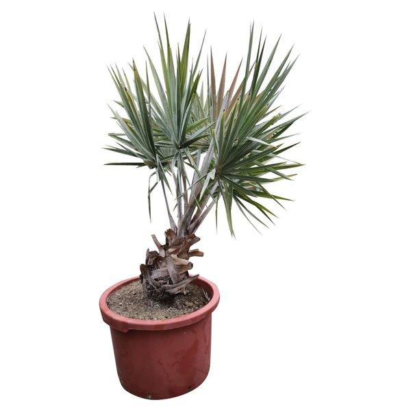 Bismarckia nobilis 45 liter