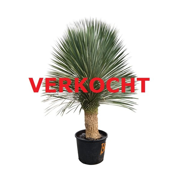 "Yucca rostrata ""Superior"" XXL (YXL-4)"