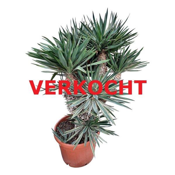 Yucca gloriosa variegata (YGV-0)