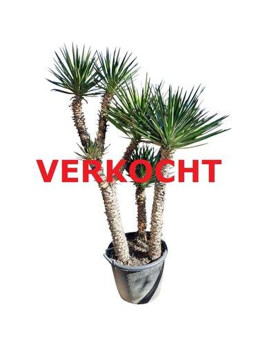 Yucca aloifolia XXL (YAL-3)