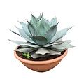 "Agave ovatifolia ""Emerald"" (schaal 40 cm)"