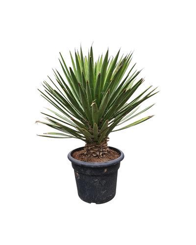 Yucca filifera australis 60-70 cm
