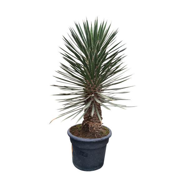 Yucca filifera australis 100 cm