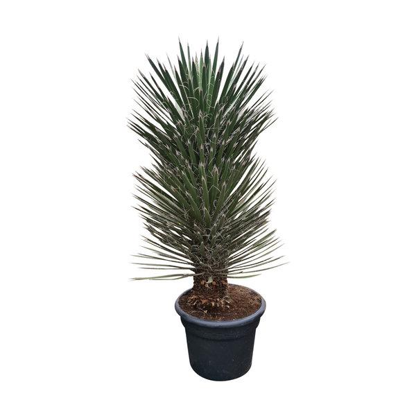 Yucca filifera australis 120 cm