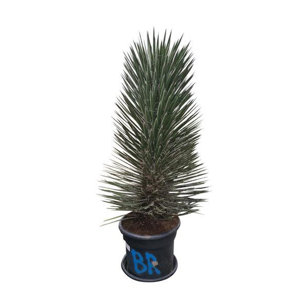 Yucca filifera australis 130 cm