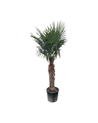 Trachycarpus fortunei (stam 100-120 cm)