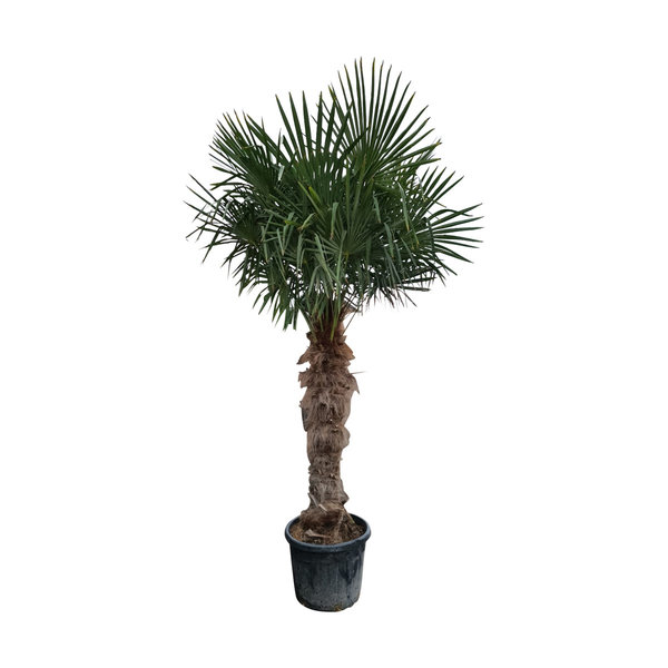 Trachycarpus fortunei (stam 120-140 cm)