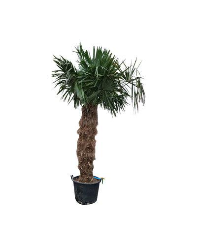 Trachycarpus fortunei (stam 140-160 cm)