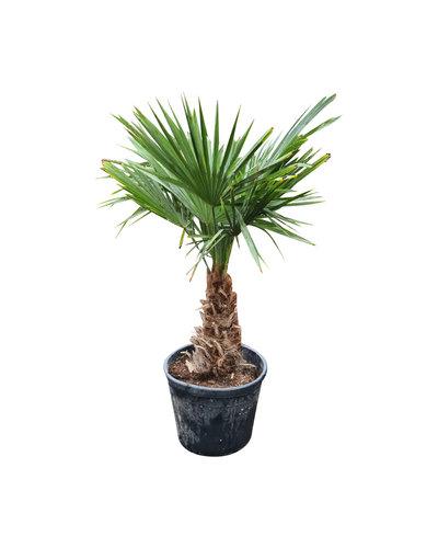 Trachycarpus fortunei (stam 30-40 cm)