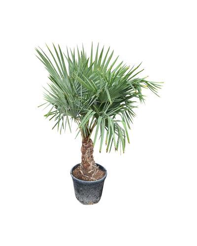 Trachycarpus fortunei (stam 40-50 cm)