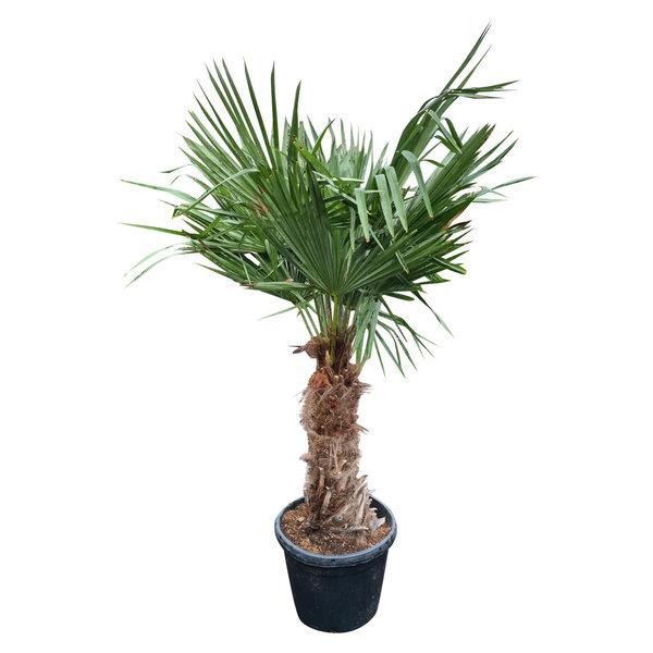 Trachycarpus fortunei (stam 60-70 cm)