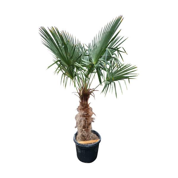 Trachycarpus fortunei (stam 70-80 cm)