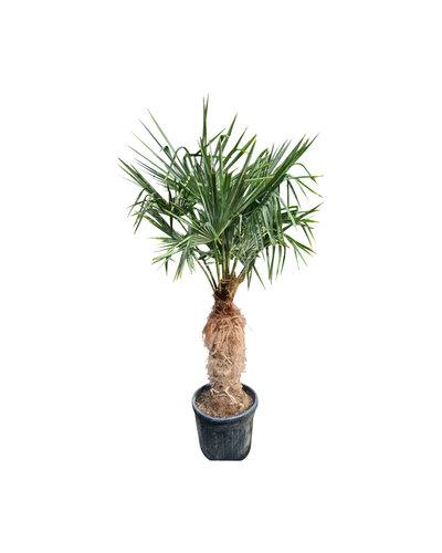 Trachycarpus fortunei (stam 80-90 cm)