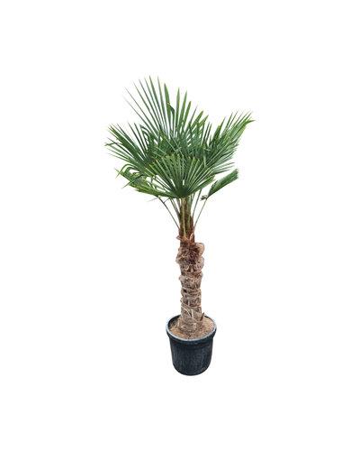 Trachycarpus fortunei (stam 90-100 cm)