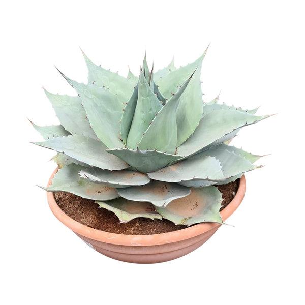 """Agave ovatifolia """"Iced Heart"""" (schaal 50 cm)"""
