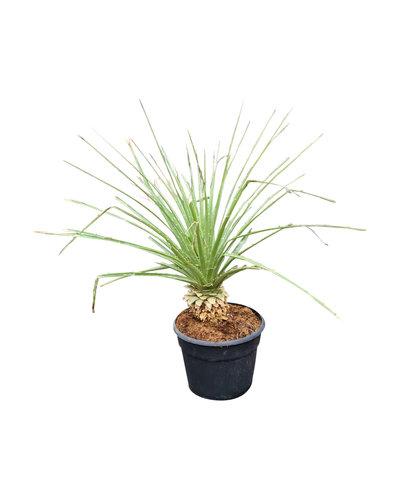 Puya chilensis (pot 12 liter)