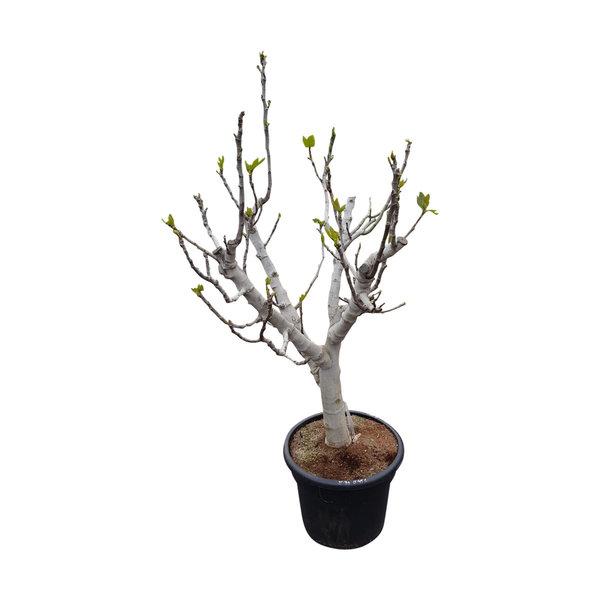 Ficus carica (vijgenboom)