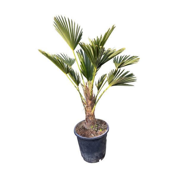 Trachycarpus wagnerianus MINI 2