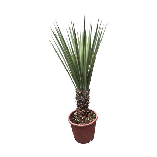 Yucca treculeana (stam 40-50 cm)