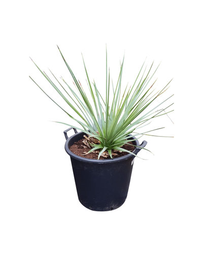Agave stricta (pot 35 liter)