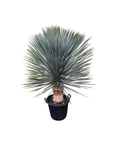"""Yucca rostrata """"Superior"""" 140-150 cm"""