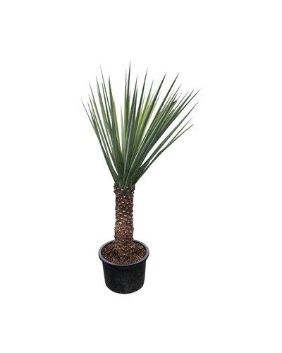 Yucca treculeana (stam 60-70 cm)