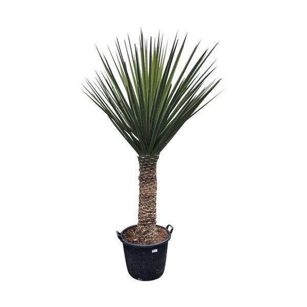 Yucca treculeana (stam 80-90 cm)