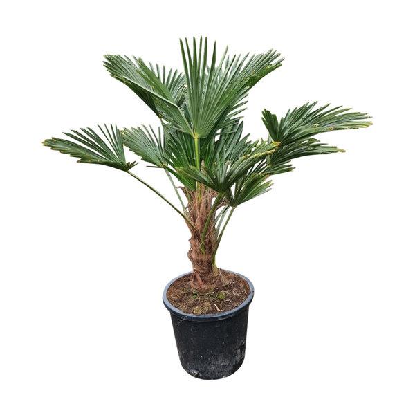 Trachycarpus wagnerianus (stamhoogte 20-30 cm)