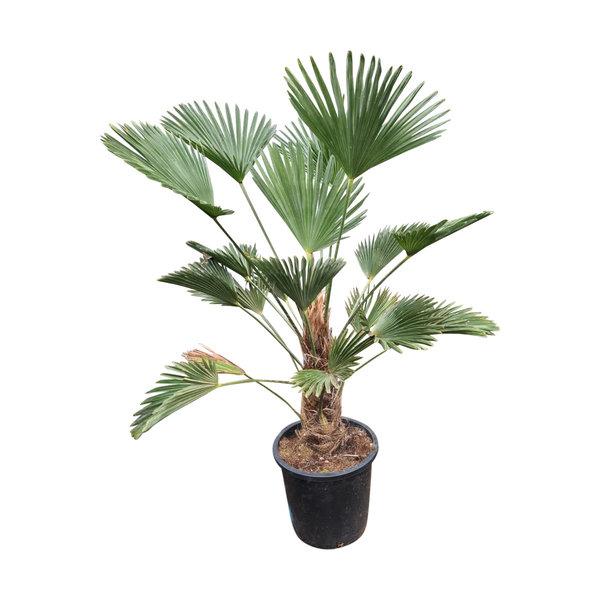 Trachycarpus wagnerianus (stamhoogte 30-40 cm)