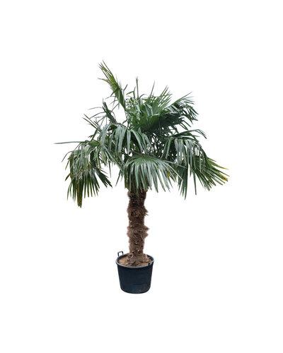 Trachycarpus fortunei (stam 160-180 cm)