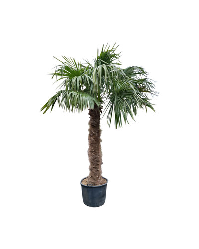 Trachycarpus fortunei (stam 180-200 cm)