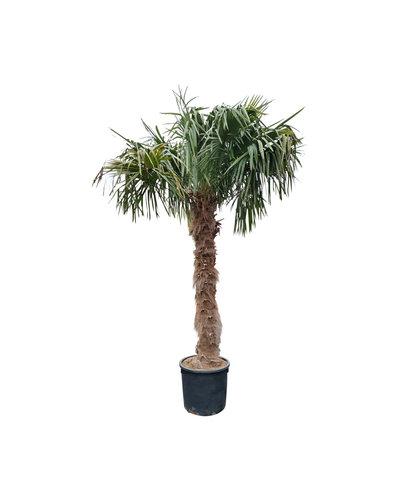 Trachycarpus fortunei (stam 200-220 cm)